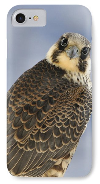 Peregrine Falcon Looking At You IPhone Case