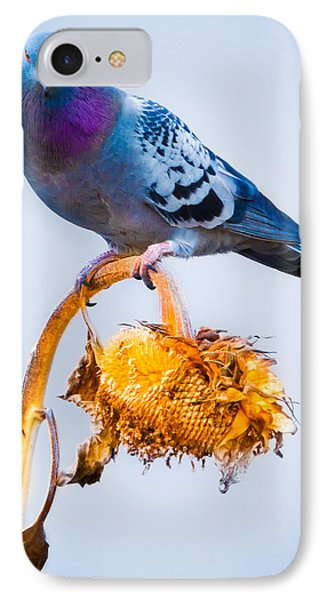 Pigeon On Sunflower IPhone Case by Bob Orsillo
