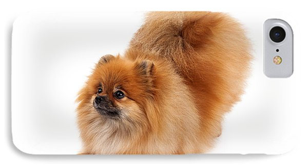 Pomeranian Bowing Looking To Side IPhone Case