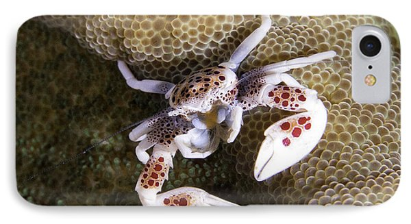 Porcelain Crab Phone Case by Paula Marie deBaleau