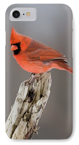 IPhone Case featuring the photograph Portrait Of A Cardinal by Timothy McIntyre