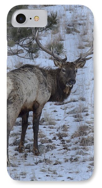 Elk Bull In Wind Cave National Park IPhone Case