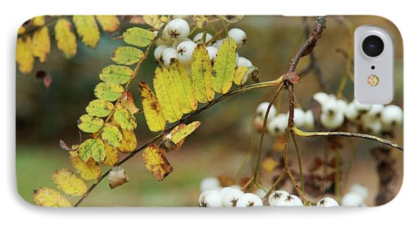 Pratt's Mountain Ash (sorbus Prattii) IPhone Case by Frank M Hough