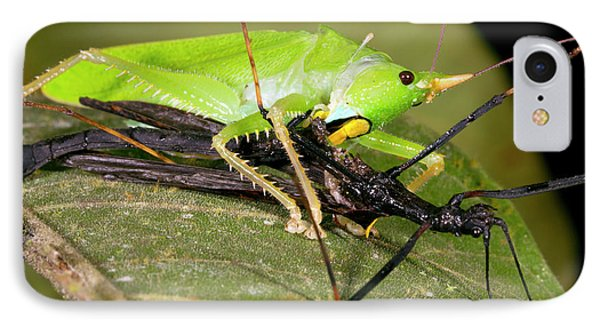 Predatory Katydid Eating A Stick Insect IPhone Case by Dr Morley Read