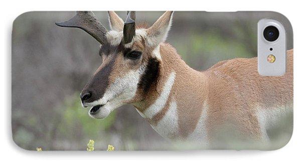 Pronghorn Antelope Buck Feeding IPhone Case