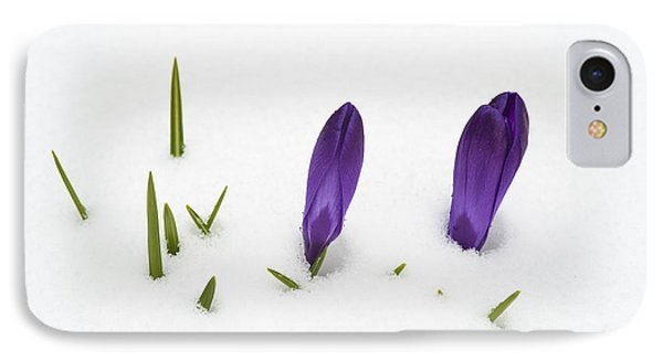 Purple Crocus In The White Snow - Spring Meets Winter Phone Case by Matthias Hauser