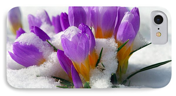Purple Crocuses In The Snow IPhone Case by Sharon Talson