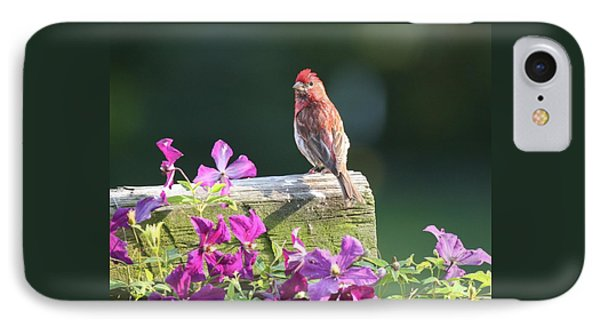 Purple Finch By Clematis IPhone Case by Lucinda VanVleck