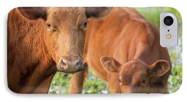 Red Angus Cow And Calf Drinking Water IPhone Case by Maresa Pryor