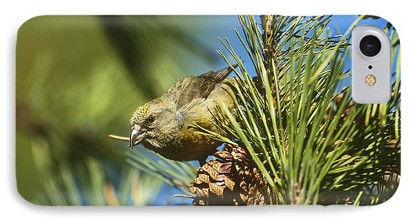 Red Crossbill Eating Cone Seeds IPhone Case by Paul J. Fusco