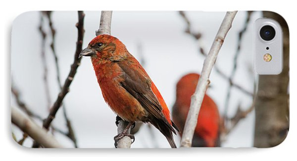 Crossbill iPhone 7 Case - Red Crossbills Perch In A Willow by Robert L. Potts