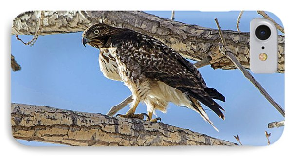 Red Tail Hawk In Cottonwood Tree IPhone Case by Stephen  Johnson