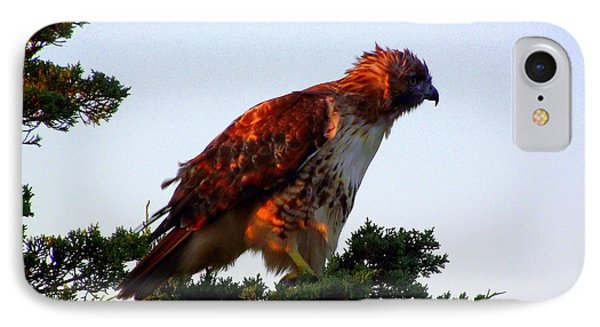 Red-tailed Hawk Fluff Up Phone Case by CapeScapes Fine Art Photography