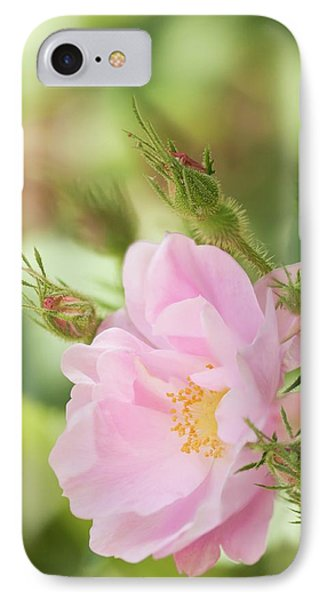 Rosa Pomifera'duplex' Flower IPhone Case by Maria Mosolova