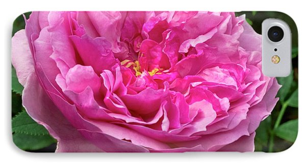 Rose (rosa 'cessa') Flower IPhone Case by Ian Gowland