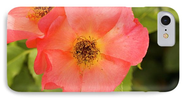 Rose (rosa 'morning Mist') IPhone Case by Adrian Thomas