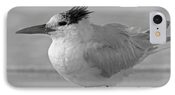Royal Tern On Siesta Key IPhone Case by Betsy Knapp
