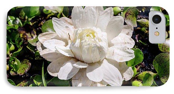 Santa Cruz Water Lily (victoria Cruziana) IPhone Case