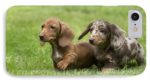 Short-haired Dachshund Puppies IPhone Case by John Daniels