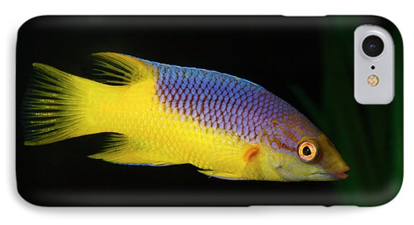Spanish Hogfish IPhone Case by Nigel Downer