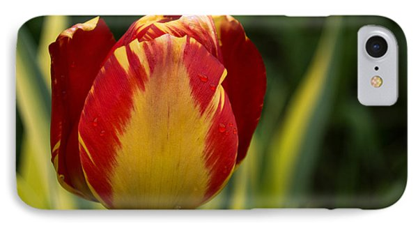 Sparkles And Warmth - A Red And Yellow Tulip In The Spring Rain IPhone Case by Georgia Mizuleva