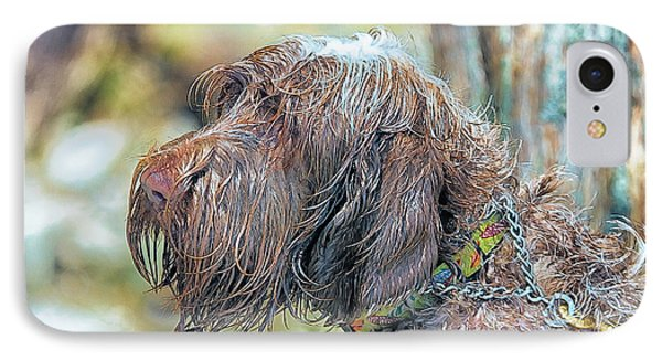Spinone Italiano Italian Wire Haired Pointer IPhone Case by Constantine Gregory