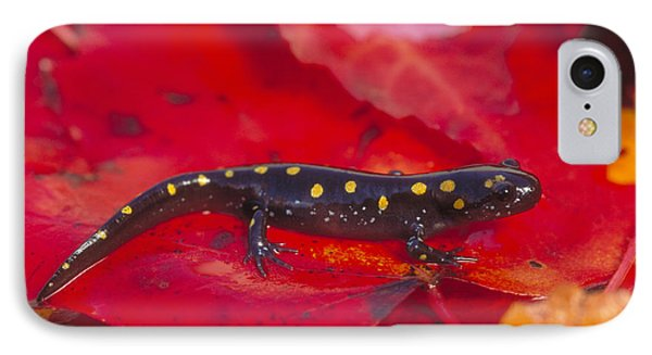 Spotted Salamander IPhone Case by Paul J. Fusco