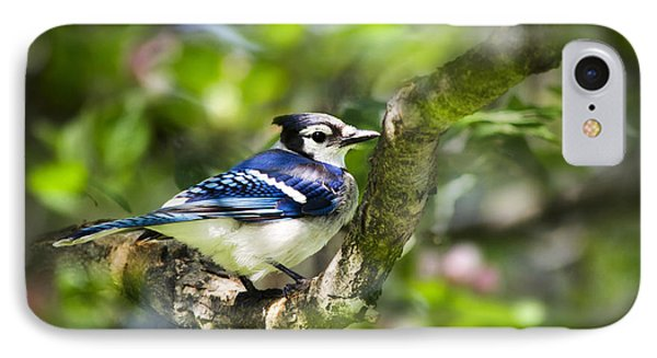 Spring Blue Jay IPhone Case by Christina Rollo