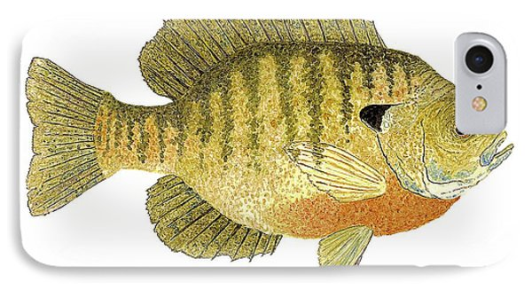 IPhone Case featuring the painting Study Of A Bluegill Sunfish by Thom Glace