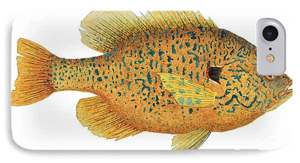 IPhone Case featuring the painting Study Of A Male Pumpkinseed Sunfish In Spawning Brilliance by Thom Glace