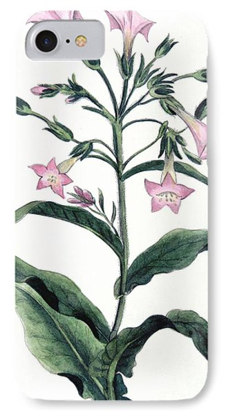 Tobacco Nicotiana Tabacum IPhone Case by Anonymous