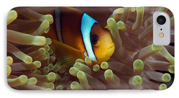 Two-banded Anemonefish Red Sea Egypt IPhone Case