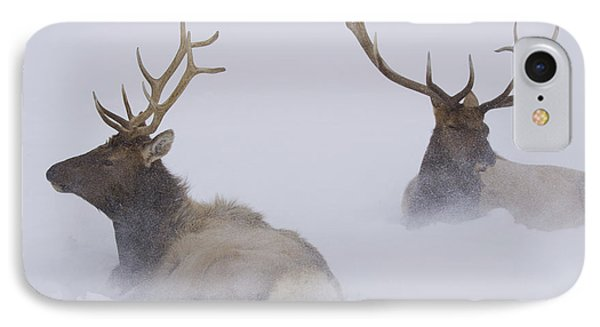 Two Bull Elk Lying In Deep Snow, Alaska IPhone Case by Doug Lindstrand