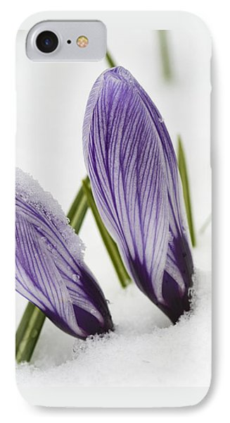 Two Purple Crocuses In Spring With Snow IPhone Case