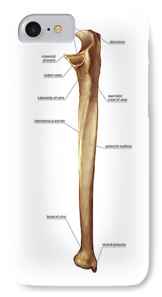 ulna bone photograph by asklepios medical atlas, Human Body