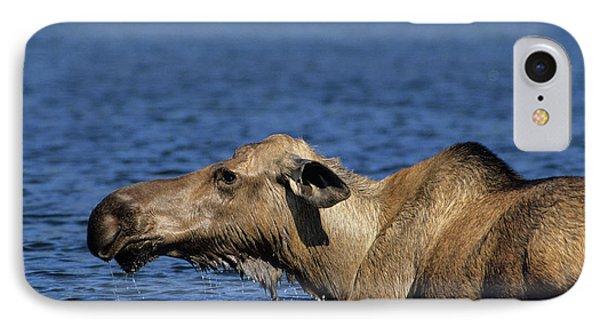 Usa, Alaska, Cow Moose At Pond, Denali IPhone Case by Gerry Reynolds