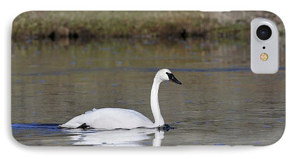 Usa, Wyoming, Trumpeter Swan IPhone Case