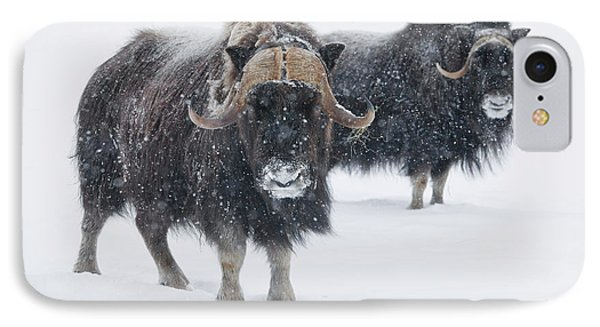 View Of A Pair Of Muskoxen Bulls IPhone Case by Doug Lindstrand
