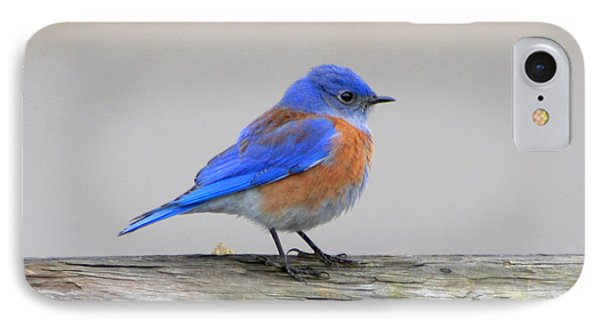 IPhone Case featuring the photograph Western Bluebird Perching by Bob and Jan Shriner