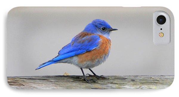 Western Bluebird Perching IPhone Case