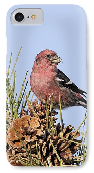White-winged Crossbill On Pine IPhone Case by Allan Rube