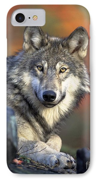 IPhone Case featuring the photograph Wolf Predator Canidae Canis Lupus Hunter by Paul Fearn