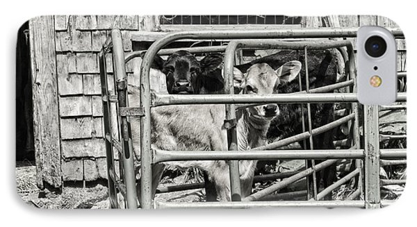 Young Cows In Pen Near Barn Maine Photograph IPhone Case by Keith Webber Jr