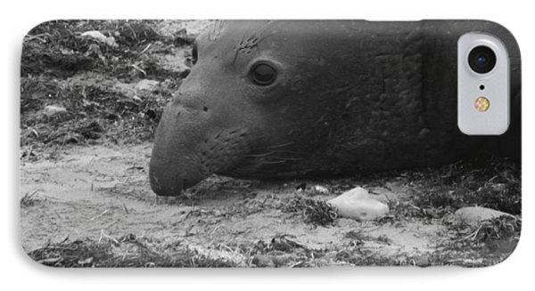 Young Elephant Seal Bull IPhone Case by Gwendolyn Barnhart