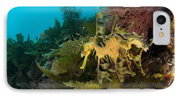 Leafy Sea Dragon IPhone Case by Matthew Oldfield