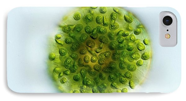 Green Alga, Light Micrograph Phone Case by Gerd Guenther