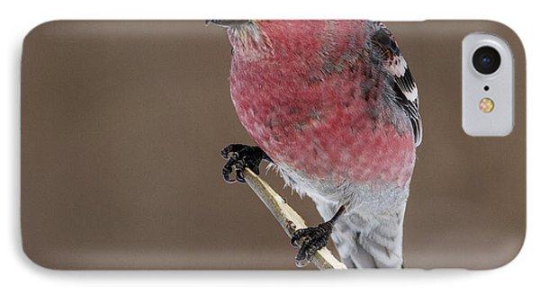 Pine Grosbeak IPhone Case