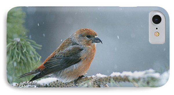 A Red Crossbill Loxia Curvirostra IPhone 7 Case