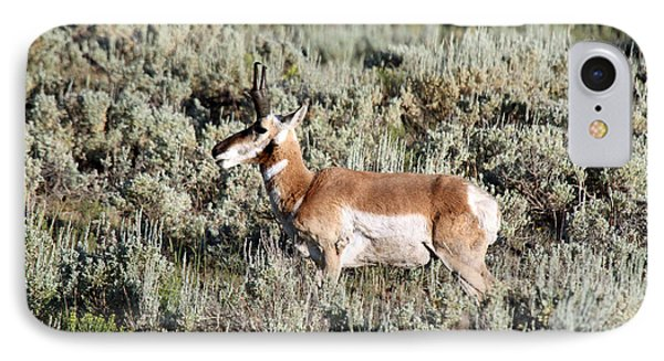 Antelope In Lamar Valley IPhone Case