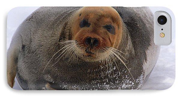 Bearded Seal Erignathus Barbatus Adult Phone Case by Flip  Nicklin